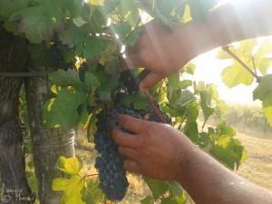 Vendemmia di uve bonarda