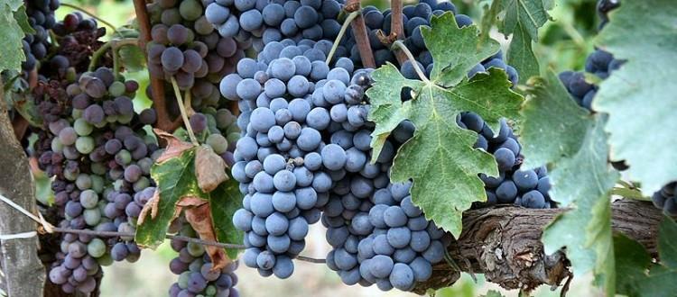 Montalcino uve sangiovese